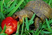 turtle-eating-strawberry.jpg