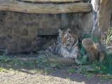 Asch23 Tiger.jpg