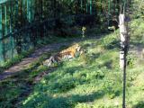 Asch13 Tiger.jpg