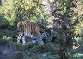 Asch14a Tiger.jpg
