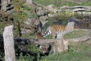 Asch15a Tiger.jpg