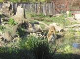Asch18b Tiger.jpg
