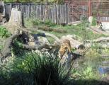 Asch19b Tiger.jpg