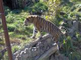 Asch22 Tiger.jpg