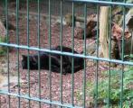 schwarzer Jaguar.jpg