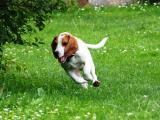 Beagle Sam1.JPG