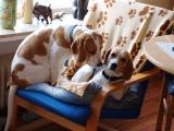 Beagle Sam3.JPG