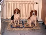 Beagle Sam4.JPG