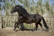 Andalusier-Re__lampago-2648.jpg