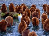 king-penguins-south-georgia-island_22661_600x450.jpg