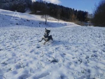 28.11.2018 - Wuffi im Schnee @Altenmarkt a.d. Triesting(NÖ)