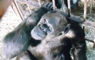 Schimpanse Oliver.JPG