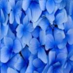 veilchen blau