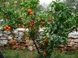 Mandarinen.jpg