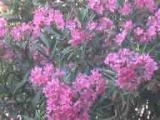 oleander-web.jpg