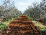 olivenplantage (Large).JPG