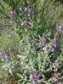 Salbei-bluehend.jpg