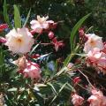 270 Oleander in Orebic.jpg