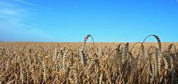 korn.jpg