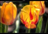 tulpe+1,5_0_-1,5_tonemapped.jpg