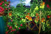 tomaten_1.jpg