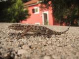 800px-K-Europ.HalbfingergeckoHemidactylus01.jpg