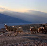 [108] Schafe am Morgen