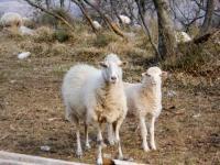 Wanderung-Schafe-web