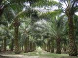 800px-Oilpalm_malaysia.jpg