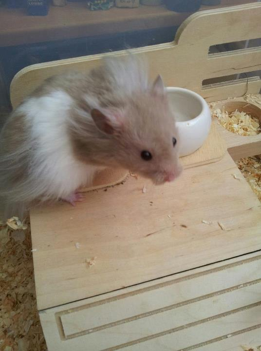 alles au er bullies hamster in not suchen ein zuhause. Black Bedroom Furniture Sets. Home Design Ideas