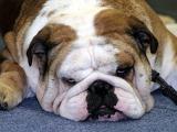 Bulldogge.jpg