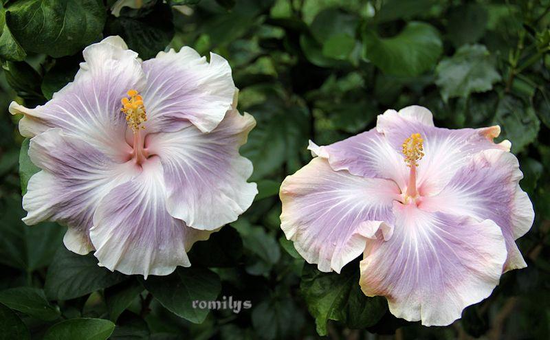 Hibiscus - alle Arten, Zuchtformen ... Erfahrungsberichte, Aussaat und selbstverständlich Bilder :) - Seite 16 F138t5752p94697n2_GWzOtKmQ