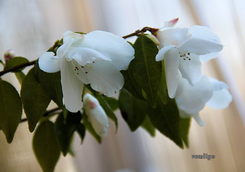 Camellia - Kamelien - Seite 3 F159t5655p86144n2_BGKxhTgN