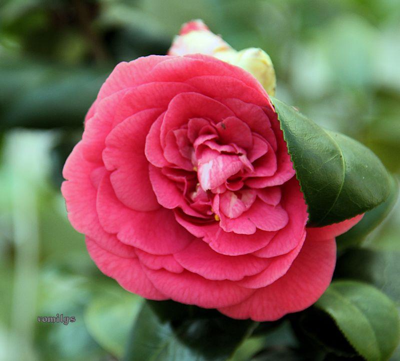 Camellia - Kamelien - Seite 3 F159t5655p86144n3_ZwySsPTN