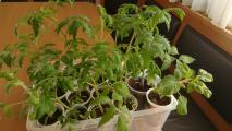 erste tomaten 20.jpg