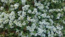 pflanze steingarten flach.jpg