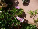 Pereskia grandiflora.8.jpg