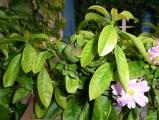 Pereskia grandiflora 2.jpg