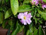Pereskia grandiflora.jpg