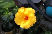 Hibiskus gelb.jpg