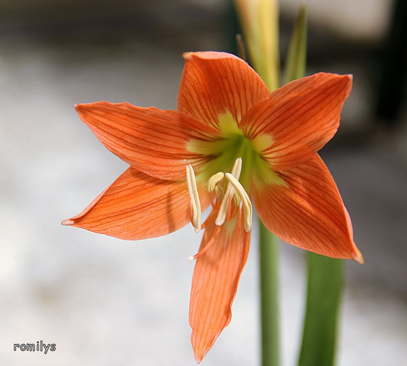 Amaryllisgewächse - Amaryllidaceae (Hippeastren, Nerine, Amaryllis, Agapanthus und auch Allium & Narzissen) - Seite 59 F22t2287p121583n3_qxTeNMJV
