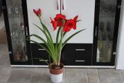 Amarhyllis Royal Red 1.jpg