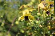 Clematis serratifolia 2.jpg