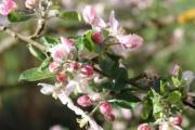 Apfelbaumblüten.jpg