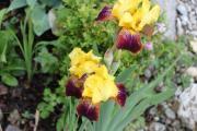 Tulpe Guy Luron.jpg