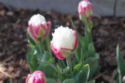 Tulpe Ice Cream.jpg