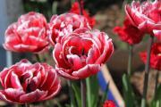 Tulpe Drumline.jpg
