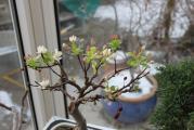Bonsai Apfel.jpg