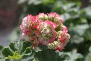 Pelagonium Appelblossom Rosebud 2.jpg
