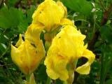 iris gelb.jpg